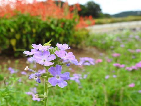 20210818-01_flower.JPG
